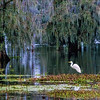 Great Egret - Cypress Island, Layfayette, Louisiana