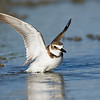 Wilson's Plover flapping in water