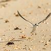 Least Tern-Juvenile Taking Off