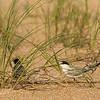 Feeding Tern Chick in Safety of Beach Grass