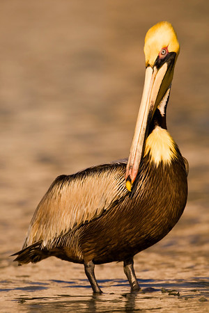 Adult male Brown Pelican in Breeding plumage. Taken in golden tones of the sun setting.
