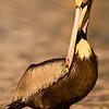 Adult male Brown Pelican in Breeding plumage. Taken in golden tones of the sun setting.