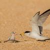 Least Tern Feeding Young