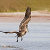 Female Brown Pelican in flight