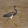 Tri-color Heron strutting his stuff on the beach.