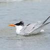 Bathing Tern
