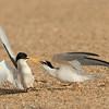Got Your Bill-Least Terns