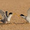 Tern Squabble