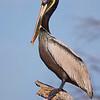Male Brown Pelican