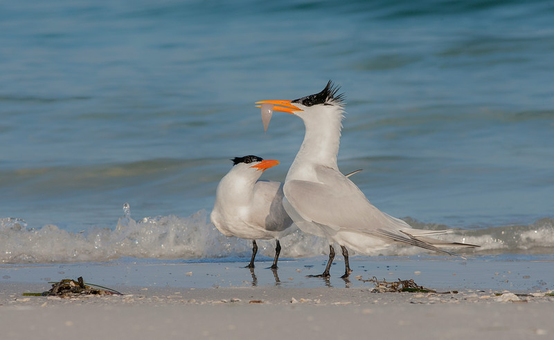 Terns- The Mating Dance