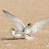 Terns-Mating Dismount