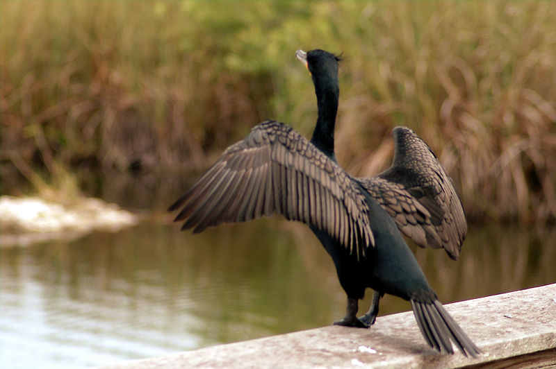 the  double crested cormorant