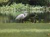 Great White Heron (rare)