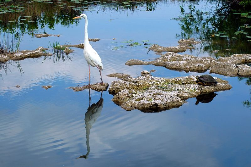 the egret and the turtle, Everglades