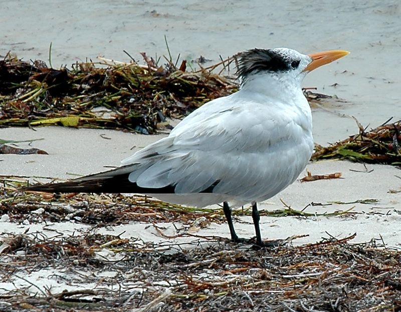 the Florida tern
