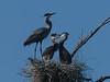 baby Great Blue herons