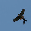 Red-tailed Hawk and American Crow<br /> 04 MAR 2010