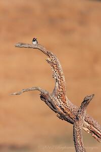 Acorn Woodpecker Palo Alto, CA