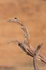 Acorn Woodpecker<br /> Palo Alto, CA