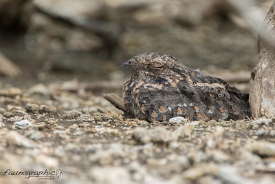 Savannah Nightjar