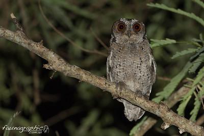 Sunda Scops Owl