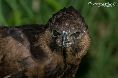 Changeable Hawk Eagle - Dark Morph