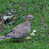 Mourning Dove<br /> 08 OCT 2007