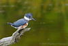 Belted Kingfisher<br /> Ithaca, NY