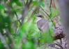 Black-billed Cuckoo<br /> Dryden, NY