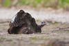 Wild Turkey<br /> Point Pelee National Park, ON