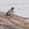"Ducks: <span style=""color:#fff; background:#333;"">Lesser Scaup</span> (female)  <br> Riverlands Migratory Bird Sanctuary <br> <a href=""/Birds/2006-Birding/Birding-2006-November/2006-11-13-Riverlands/i-GZppWjG"">2006-11-13</a> <br><br> My 1st Missouri photo, species #41 <br> 2005-12-27 15:47:34 <br><div class=""noshow"">  See #41 in photo gallery  <a href=""/Birds/2005-Birding/2005-12-27-Riverlands/i-3QTPj3h""> Here</a> </div>"