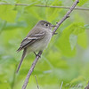 """Flycatchers: <span style=""""color:#fff; background:#333;"""">Least Flycatcher </span>  <br><span class=""""showLBtitle"""">                                             </span> Tower Grove Park<br> St. Louis, Missouri <br> <a href=""""/Birds/2008-Birding/Birding-2008-May/2008-05-01-Tower-Grove-Park/i-KCC8GMW"""">2008-05-01</a> <br> <br> My 1st Missouri photo, species #189 <br> 2007-05-05 16:20:27 <br> <div class=""""noshow"""">See #189 in photo gallery <a href=""""/Birds/2007-Birding/Birding-2007-May/2007-05-05-Birds-in-Bridgeton/i-ZZkj6M9"""">Here</a></div>"""