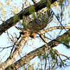 "Birds of Prey: Buteos: <span style=""color:#fff; background:#333;"">Red-shouldered Hawk</span>  <br> St. Charles County <br> <a href=""/Birds/2006-Birding/Birding-2006-April/2006-04-16-Birds-at-Donnas/i-rZWRM5N"">2006-04-16</a> <br><br> My 1st Missouri photo, species #47 <br> 2006-04-16 13:23:56 <br><div class=""noshow"">  See #47 in photo gallery  <a href=""/Birds/2006-Birding/Birding-2006-April/2006-04-16-Birds-at-Donnas/i-qK32hN5""> Here</a> </div>"