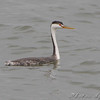 "Grebes: <span style=""color:#fff; background:#333;"">Clark's Grebe</span>   <br><span class=""showLBtitle"">                                                                                         </span> Smithville Lake <br> Clay County, Missouri <br> <a href=""/Birds/2009-Birding/Birding-2009-November/2009-11-14-Smithville-lake/i-sZgtbVM"">2009-11-14</a> <br> <br> My 1st Missouri photo, species #272 <br><span style=""color:#fff""> *** Fifth Missouri Record ***</span> <br> 2009-11-13 15:06:51 <br> <div class=""noshow"">See #272 in photo gallery <a href=""/Birds/2009-Birding/Birding-2009-November/2009-11-14-Smithville-lake/i-T9JKL98"">Here</a></div>"