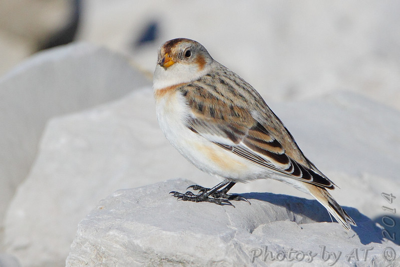 """Buntings: <span style=""""color:#fff; background:#333;"""">Snow Bunting</span>  <br> Teal Pond <br> Riverlands Migratory Bird Sanctuary <br> <a href=""""/Birds/2014-Birding/Birding-2014-November/2014-11-20-RMBS/i-5hrBVnF"""">2014-11-20</a>  <br><br> My 1st Missouri photo, species #230 <br> 2009-01-31 12:34:57 <br><div class=""""noshow"""">  See #230 in photo gallery  <a href=""""/Birds/2009-Birding/Birding-2009-January/2009-01-31-Riverlands/i-jLBtJ6C""""> Here</a> </div>"""