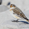 "Buntings: <span style=""color:#fff; background:#333;"">Snow Bunting</span>  <br> Teal Pond <br> Riverlands Migratory Bird Sanctuary <br> <a href=""/Birds/2014-Birding/Birding-2014-November/2014-11-20-RMBS/i-5hrBVnF"">2014-11-20</a>  <br><br> My 1st Missouri photo, species #230 <br> 2009-01-31 12:34:57 <br><div class=""noshow"">  See #230 in photo gallery  <a href=""/Birds/2009-Birding/Birding-2009-January/2009-01-31-Riverlands/i-jLBtJ6C""> Here</a> </div>"