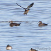 "Ducks: Scoters: <span style=""color:#fff; background:#333;"">Surf Scoter</span>  <br> Ellis Bay  <br> Riverlands Migratory Bird Sanctuary <br> <a href=""/Birds/2013-Birding/Birding-2013-October/2013-10-13-RMBS/i-Wg5LBK2"">2013-10-13 Riverlands Migratory Bird Sanctuary</a> <br><br> My 1st Missouri photo, species #276 <br> 2009-12-29 13:41:09 <br><div class=""noshow"">  See #276 in photo gallery  <a href=""/Birds/2009-Birding/Birding-2009-December/2009-12-29-RMBS/i-z3v3WMn""> Here</a> </div>"