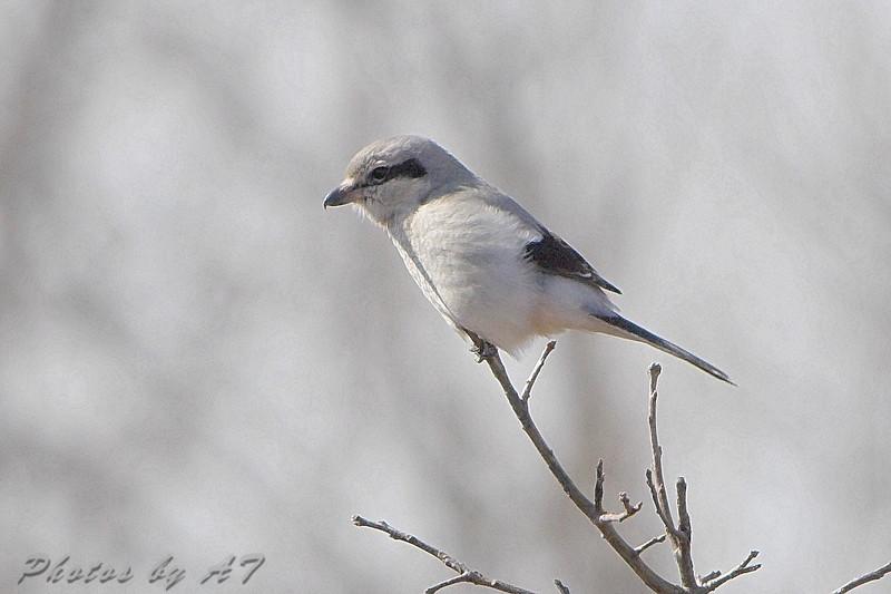 "Grassy Field Birds: <span style=""color:#fff; background:#333;"">Northern Shrike</span>  <br> Whetstone Creek Conservation Area <br> <a href=""/Birds/2008-Birding/Birding-2008-Jan-Feb/2008-02-14-Whetstone-Creek/i-8Zj63PJ"">2008-02-14</a> <br><br> My 1st Missouri photo, species #184 <br>  2008-02-14 13:38:41 <br><div class=""noshow"">  See #184 in photo gallery  <a href=""/Birds/2008-Birding/Birding-2008-Jan-Feb/2008-02-14-Whetstone-Creek/i-kBhJt8n""> Here</a> </div>"