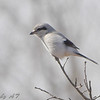 "Grassy Field Birds: <span style=""color:#fff; background:#333;"">Northern Shrike</span>  <br><span class=""showLBtitle"">                                                                                         </span> Whetstone Creek Conservation Area <br> Callaway County , Missouri <br> <a href=""/Birds/2008-Birding/Birding-2008-Jan-Feb/2008-02-14-Whetstone-Creek/i-8Zj63PJ"">2008-02-14</a> <br> <br> My 1st Missouri photo, species #184 <br>  2008-02-14 13:38:41 <br> <div class=""noshow"">See #184 in photo gallery <a href=""/Birds/2008-Birding/Birding-2008-Jan-Feb/2008-02-14-Whetstone-Creek/i-kBhJt8n"">Here</a></div>"