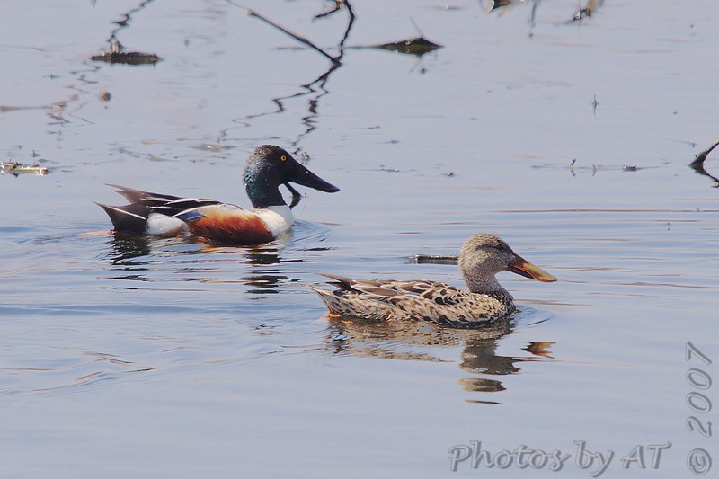 """Ducks: <span style=""""color:#fff; background:#333;"""">Northern Shoveler</span>    <br><span class=""""showLBtitle"""">                                              </span> Eagle Bluffs Conservation Area <br> Boone County, Missouri <br> <a href=""""/Birds/2007-Birding/Birding-2007-April/2007-04-19-Eagle-Bluffs-and/i-QbZzvp9"""">2007-04-19</a> <br> <br> My 1st Missouri photo, species #161 <br> 2007-03-10 15:47:26 <br> <div class=""""noshow"""">See #161 in photo gallery <a href=""""/Birds/2007-Birding/Birding-2007-March/2007-03-10-Riverlands/i-KJsXSdV"""">Here</a></div>"""