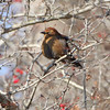 "Blackbirds: <span style=""color:#fff; background:#333;"">Rusty Blackbird</span>   <br> Portage Des Sioux <br> <a href=""/Birds/2009-Birding/Birding-2009-November/2009-11-23-Port-Des-Sioux-RMBS/i-3wN954t"">2009-11-23</a> <br><br> My 1st Missouri photo, species #63 <br> 2006-03-18 10:38:08 <br><div class=""noshow""> See #63 in photo gallery  <a href=""/Birds/2006-Birding/Birding-2006-March/2006-03-18-Seeberger-Church/i-kFD6M59""> Here</a> </div>"