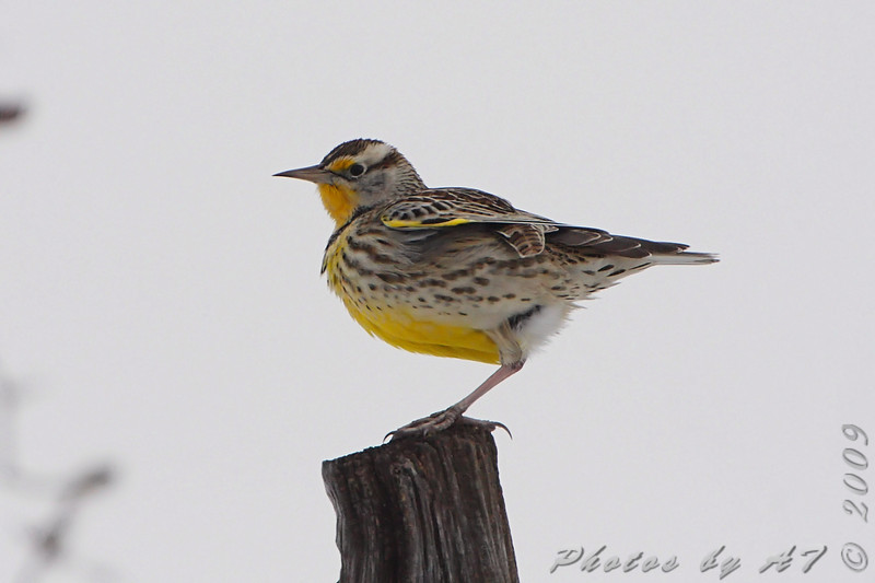 "Grassy Field Birds: Larks: <span style=""color:#fff; background:#333;"">Western Meadowlark</span>  <br><span class=""showLBtitle"">                                             </span> Smithville Lake Area <br> Clay County, Missouri <br> <a href=""/Birds/2009-Birding/Birding-2009-December/2009-12-12-Smithville/i-GTtKkRX"">2009-12-12</a> <br> <br> My 1st Missouri photo, species #239 <br>  2009-04-29 11:49:13 <br> <div class=""noshow"">See #239 in photo gallery <a href=""/Birds/2009-Birding/Birding-2009-April/2009-04-29-St-Joseph-Missouri/i-JTBtRQW"">Here</a></div>"