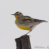 "Grassy Field Birds: Larks: <span style=""color:#fff; background:#333;"">Western Meadowlark</span>  <br><span class=""showLBtitle"">                                                                                         </span> Smithville Lake Area <br> Clay County, Missouri <br> <a href=""/Birds/2009-Birding/Birding-2009-December/2009-12-12-Smithville/i-GTtKkRX"">2009-12-12</a> <br> <br> My 1st Missouri photo, species #239 <br>  2009-04-29 11:49:13 <br> <div class=""noshow"">See #239 in photo gallery <a href=""/Birds/2009-Birding/Birding-2009-April/2009-04-29-St-Joseph-Missouri/i-JTBtRQW"">Here</a></div>"