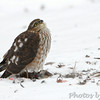 "Birds of Prey: Accipiters: <span style=""color:#fff; background:#333;"">Sharp-shinned Hawk</span>  <br> Bridgeton, MO <br> <a href=""/Birds/2013-Birding/Birding-2013-December/2013-12-Yardbirds/i-WjrjJFN"">2013-12-08</a> <br><br> My 1st Missouri photo, species #156 <br> 2006-12-18 14:55:10 <br><div class=""noshow""> See #156 in photo gallery  <a href=""/Birds/2006-Birding/Birding-2006-December/2006-12-18-Busch-Wildlife/i-KmQpSMg""> Here</a> </div>"