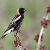 "Blackbirds: <span style=""color:#fff; background:#333;"">Bobolink</span>  <br> Clarence Cannon National Wildlife Refuge <br> <a href=""/Birds/2015-Birding/Birding-2015-May/2015-05-05-B-K-Leach-Cannon-NW/i-979NQMh"">2015-05-05</a> <br><br> My 1st Missouri photo, species #102 <br> 2006-05-13 18:27:03 <br><div class=""noshow""> See #102 in photo gallery  <a href=""/Birds/2006-Birding/Birding-2006-May/2006-05-13-Busch-Wildlife-Area/i-5rKmswQ""> Here</a> </div>"