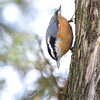 "Forest Birds: Nuthatches: <span style=""color:#fff; background:#333;"">Red-breasted Nuthatch</span>  <br> Carondelet Park <br> St. Louis, Mo. <br> <a href=""/Birds/2012-Birding/Birding-2012-November/2012-11-17-Carondelet-Park/i-7b82PB2"">2012-11-17</a> <br><br> My 1st Missouri photo, species #66 <br> 2006-04-01 09:42:09 <br><div class=""noshow"">  See #66 in photo gallery  <a href=""/Birds/2006-Birding/Birding-2006-April/2006-04-01-Busch-Wildlife/i-r2f5HhT""> Here</a> </div>"
