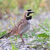 "Grassy Field Birds: Larks: <span style=""color:#fff; background:#333;"">Horned Lark</span>   <br><span class=""showLBtitle"">                                                                                         </span> Columbia Bottom Conservation Area <br> St. Louis County, Missouri <br> <a href=""/Birds/2009-Birding/Birding-2009-May/2009-05-26-Columbia-Bottom-CA/i-L5dJCsD"">2009-05-26</a> <br> <br> My 1st Missouri photo, species #100 <br>  2006-05-13 18:22:03 <br> <div class=""noshow""> See #100 in photo gallery <a href=""/Birds/2006-Birding/Birding-2006-May/2006-05-13-Busch-Wildlife-Area/i-hK6v3Zn"">Here</a></div>"