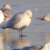 "Gulls: <span style=""color:#fff; background:#333;"">Iceland Gull</span>  <br> Ellis Bay <br> Riverlands Migratory Bird Sanctuary <br> <a href=""/Birds/2011-Birding/Birding-2011-January/2011-01-03-RMBS/i-tKpKNJm"">2011-01-03</a> <br><br> My 1st Missouri photo, species #294 <br>  2010-12-31 15:45:05 <br><div class=""noshow"">  See #294 in photo gallery  <a href=""/Birds/2010-Birding/Birding-2010-December/2010-12-31-RMBS/i-Z5cx82f""> Here</a> </div>"