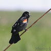 "Blackbirds: <span style=""color:#fff; background:#333;"">Red-winged Blackbird</span>  <br> Creve Couer Marsh LCC <br> <a href=""/Birds/2006-Birding/Birding-2006-May/2006-05-12-Creve-Coeur-Marsh/i-PvjrN62"">2006-05-12</a> <br><br> My 1st Missouri photo, species #28 <br> 2005-07-04 14:00:50 <br><div class=""noshow"">  See #28 in photo gallery  <a href=""/Birds/Black-Birds/i-rw9rXQ8""> Photos Here</a> </div>"
