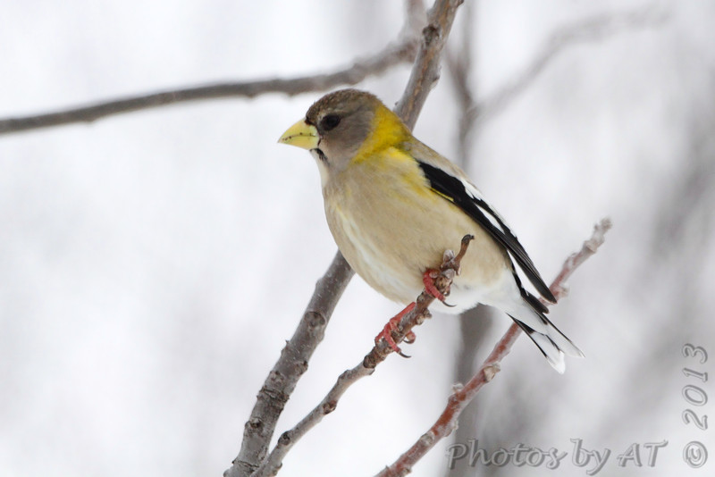 """Grosbeaks: <span style=""""color:#fff; background:#333;"""">Evening Grosbeak</span>  <br> Clark County <br> <a href=""""/Birds/2013-Birding/Birding-2013-February/2013-02-28-Evening-Grosbeak/i-G6rZPCV"""">2013-02-28</a> <br><br> My 1st Missouri photo, species #325 <br> 2013-02-28 07:24:45 <br><div class=""""noshow"""">  See #325 in photo gallery  <a href=""""/Birds/2013-Birding/Birding-2013-February/2013-02-28-Evening-Grosbeak/i-kFNWD9T""""> Here</a> </div>"""